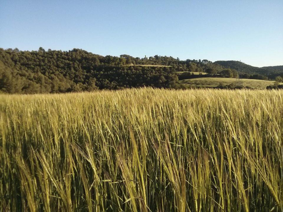 04.07.2014 camps de cereal  Porquerisses -  Ramon Sunyer