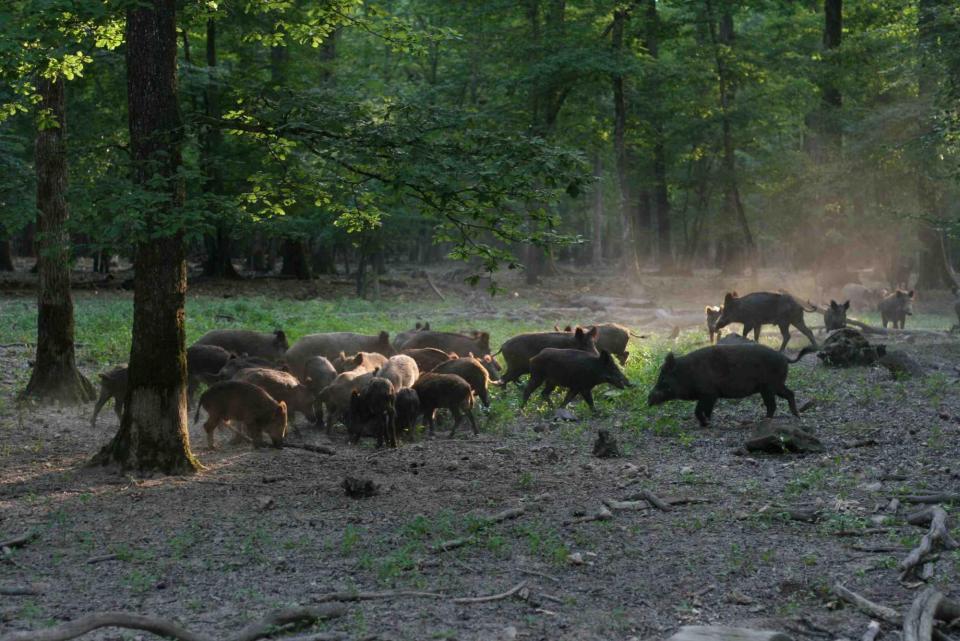 Catalunya tirarà endavant un estudi pioner que esterilitza senglars per controlar-ne la població