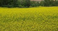 Agricultura ecològica Josep Mestre conreu de mostassa