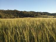 Porquerisses: camps de cereal  Ramon Sunyer