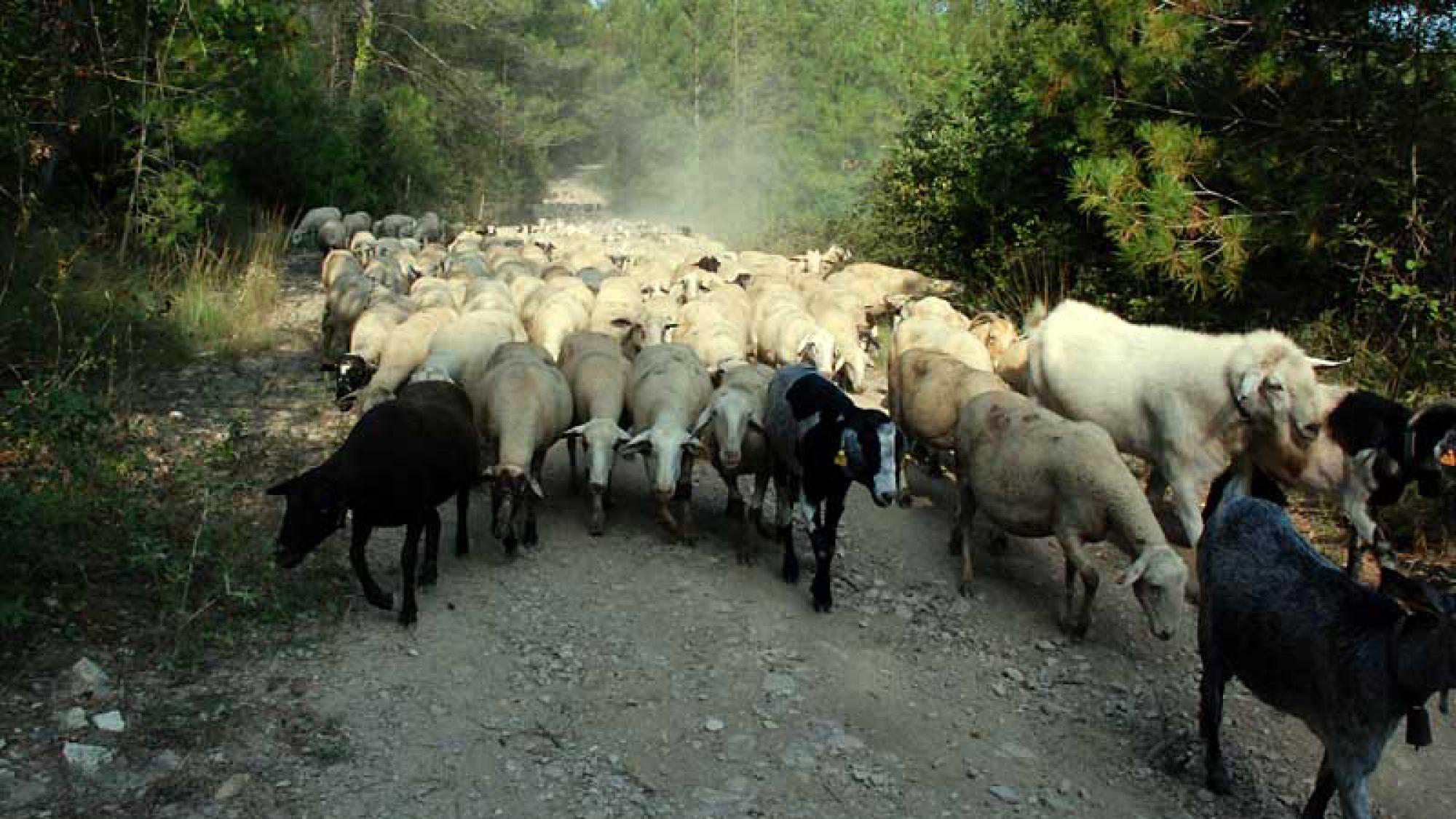 El ramat de cal Serrats pasturant al bosc